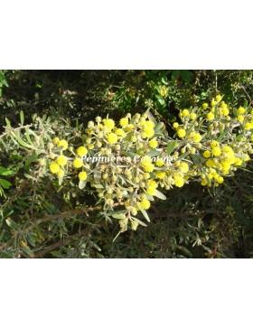 Acacia aspera