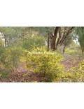 Acacia drummondii
