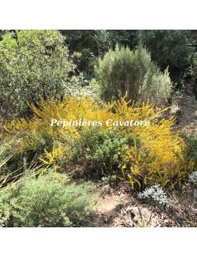 Acacia enterocarpa