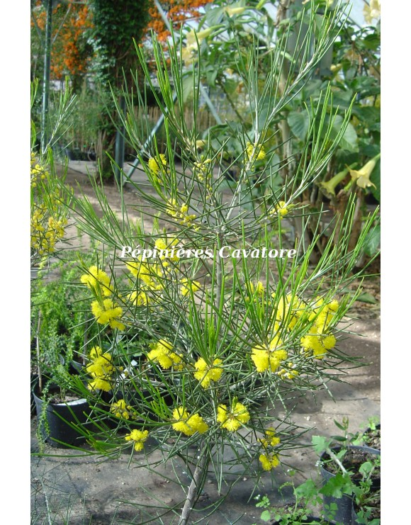 Acacia eremophila