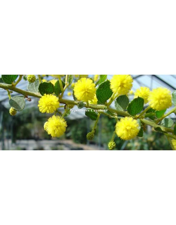 Acacia dictyoneura
