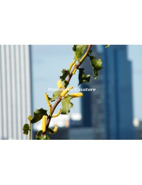 Acacia denticulosa
