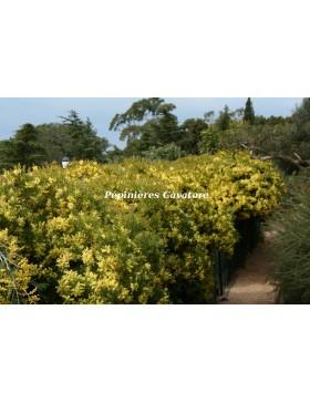 Acacia fimbriata 'Dwarf'