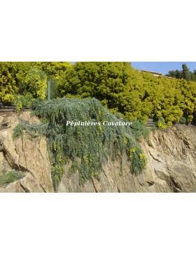 Acacia baileyana 'Prostrate'