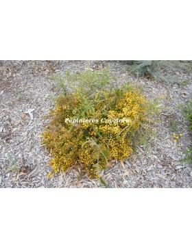 Acacia guinetii