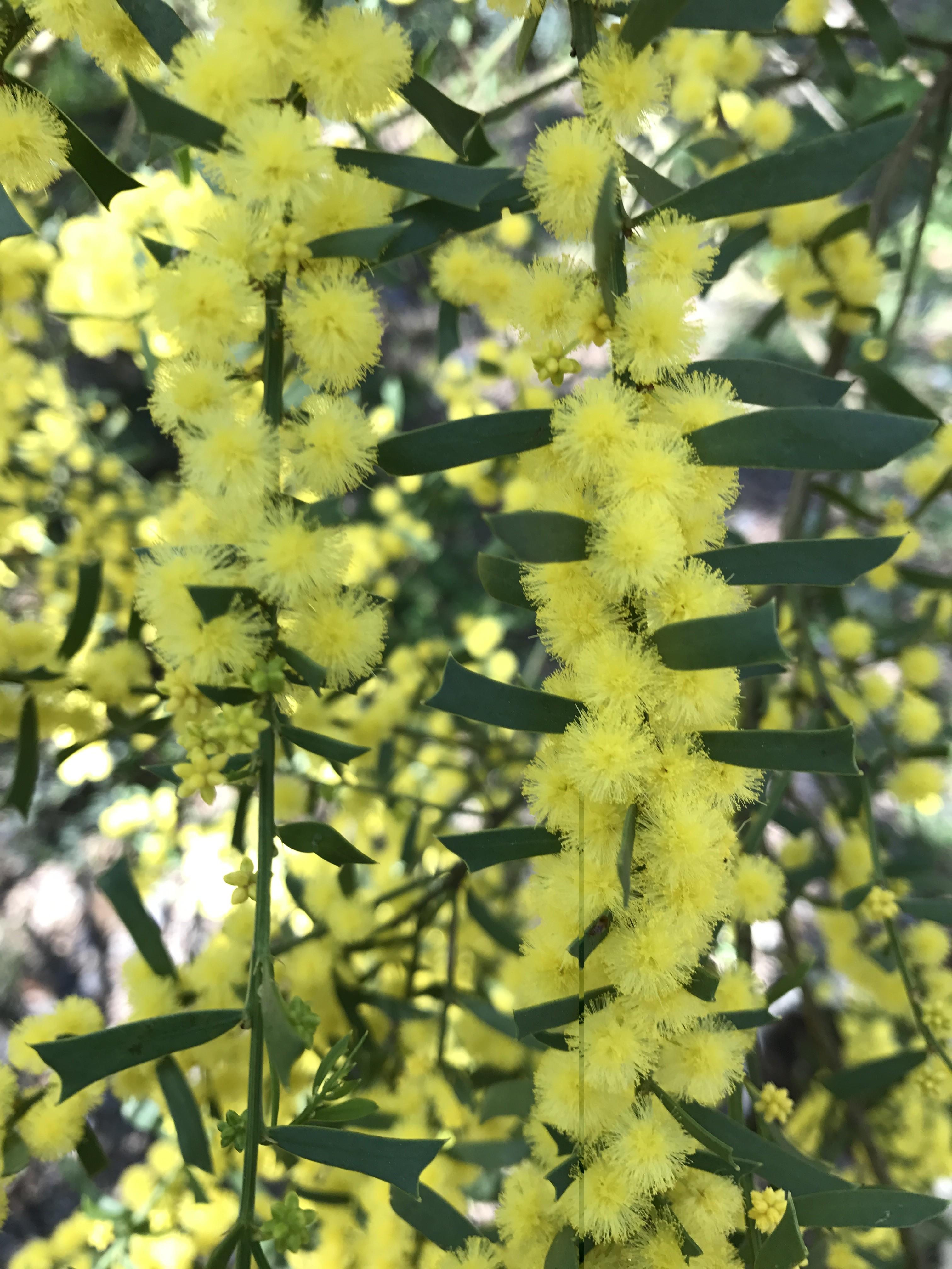 Acacia truncata