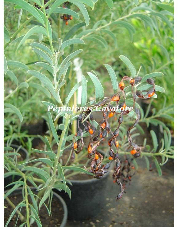 Acacia ligustrina