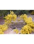 Acacia truncata sous le poids de ses fleurs.