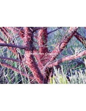 Acacia grasbyi