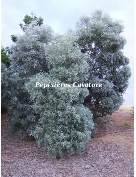 Acacia harpophylla