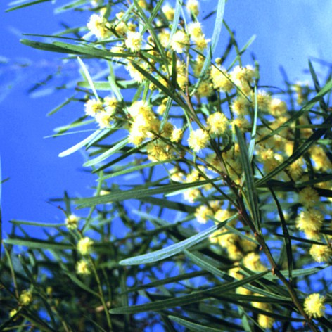 Acacia stricta