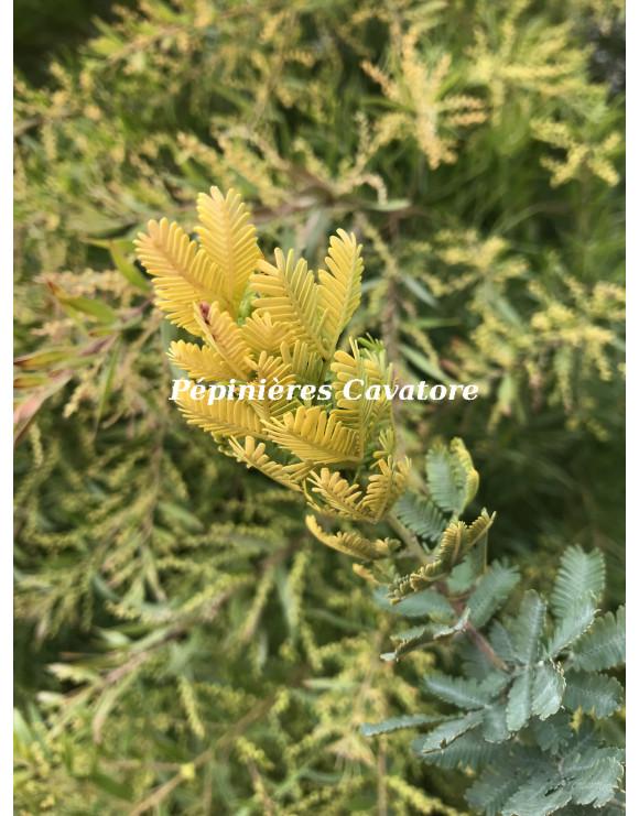 Acacia baileyana 'Aurea'