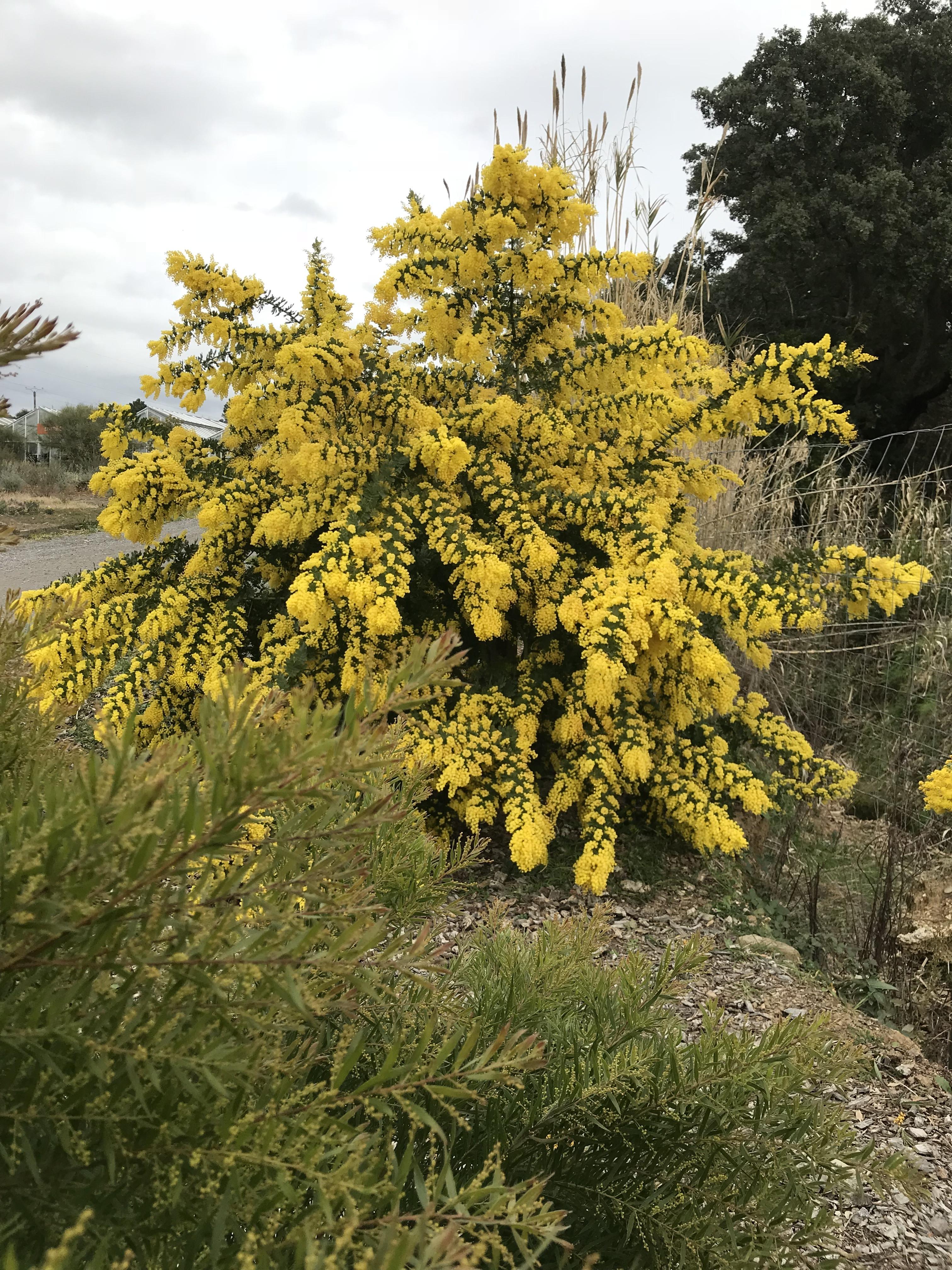 Acacia baileyana 'Marechal Joffre'
