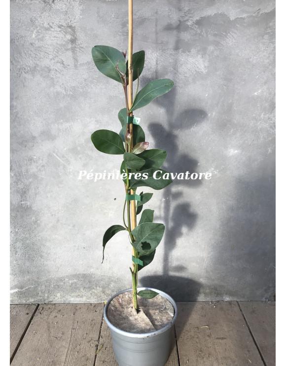Acacia obliquinervia
