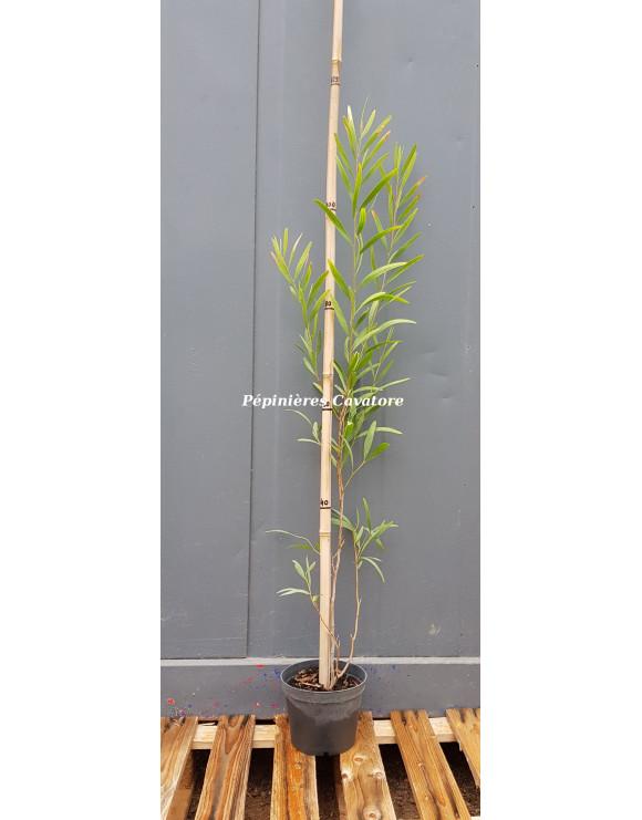 Acacia concurrens