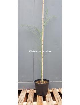 Acacia euthycarpa