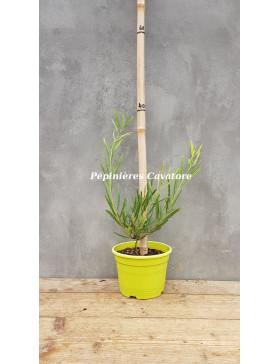 Acacia heteroclita