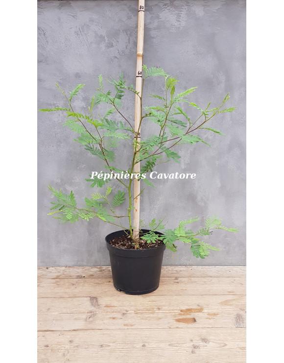 Acacia irrorata