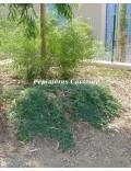 Acacia dealbata 'Pendula' couvre sol