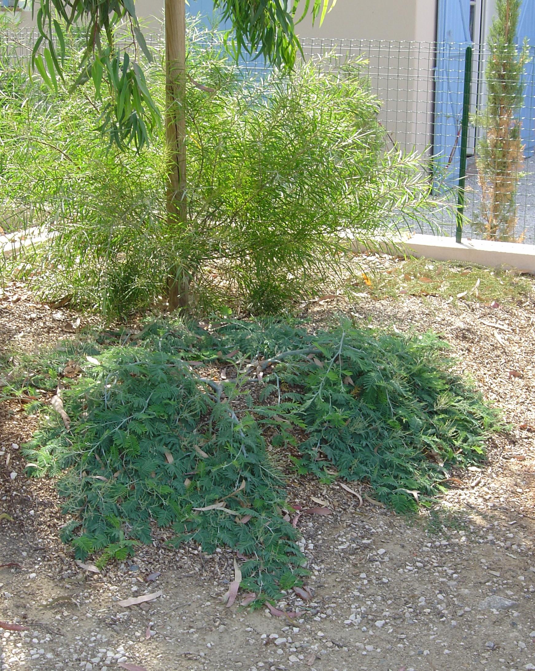 Couvre Sol Croissance Rapide acacia dealbata 'pendula' couvre sol