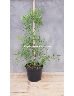 Acacia wilhelmiana