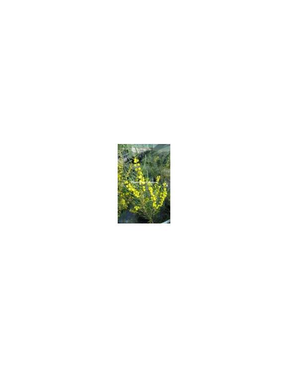 Acacia farinosa