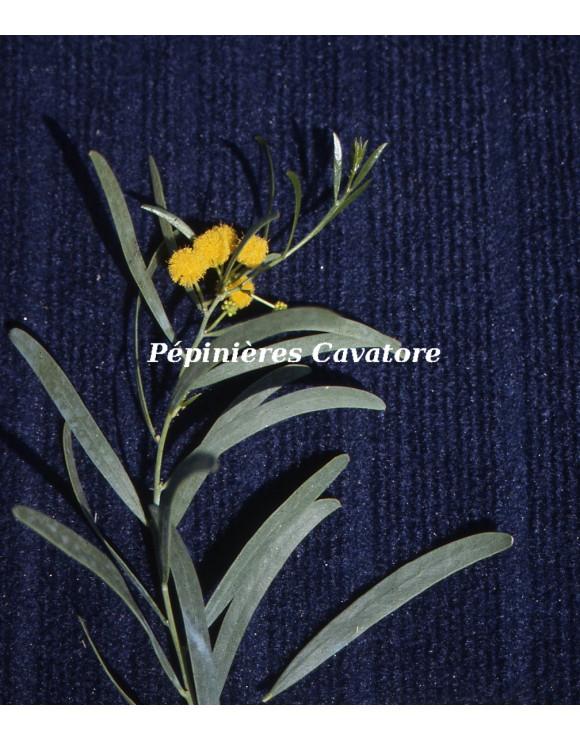 Acacia ligulata