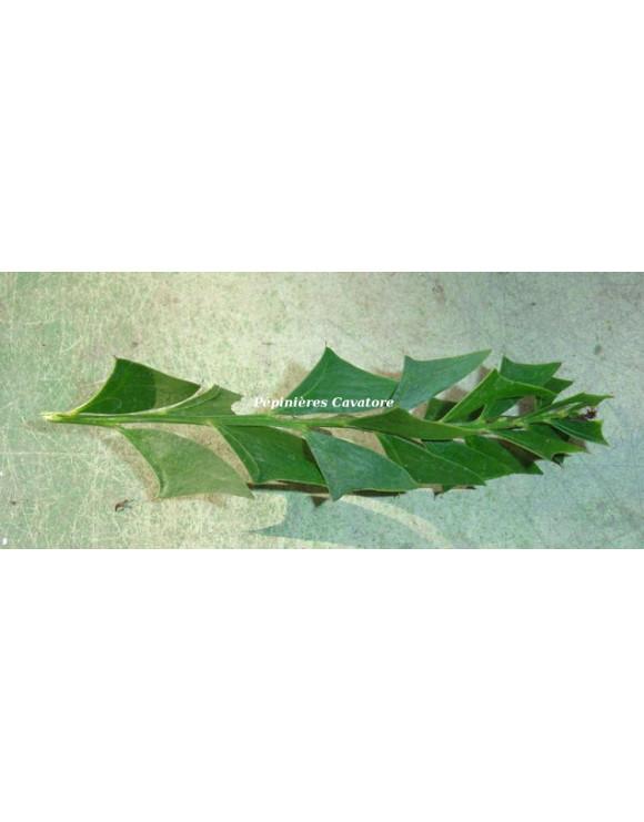Acacia littorea