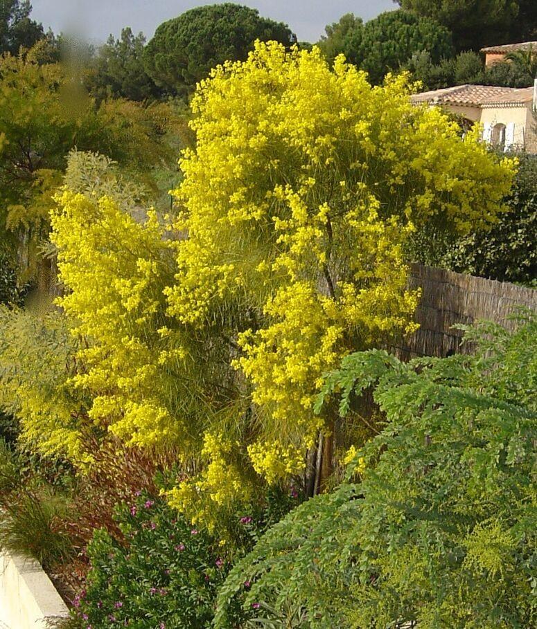 Acacia adunca