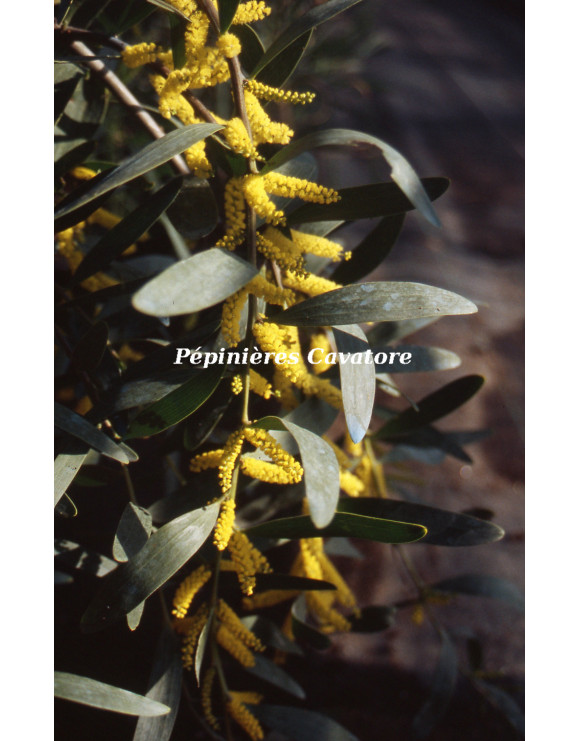 Acacia longifolia 'Prostrate'