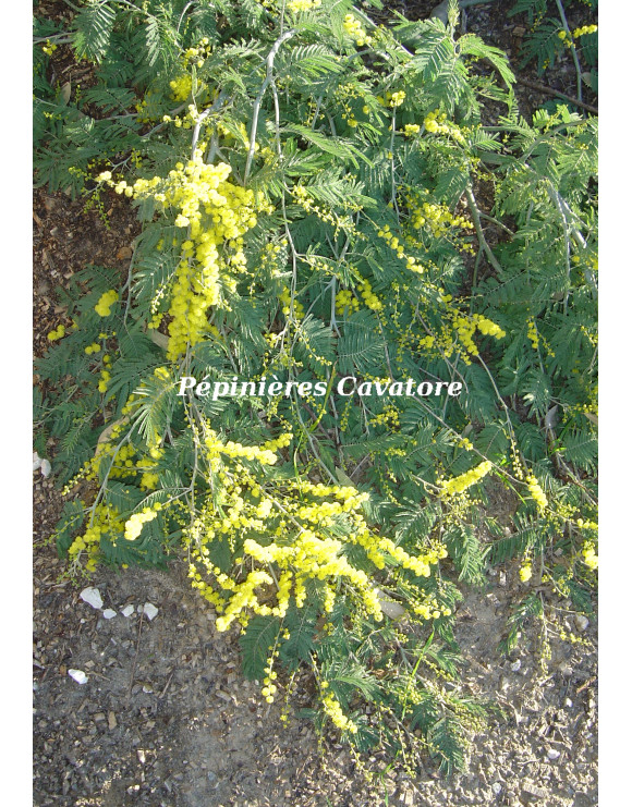 Acacia dealbata 'Pendula'...