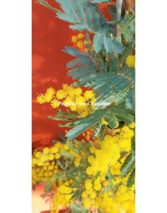Acacia dealbata 'Rêve d'Or'