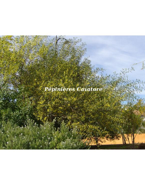 Acacia dodonaeifolia