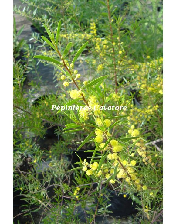 Acacia montana
