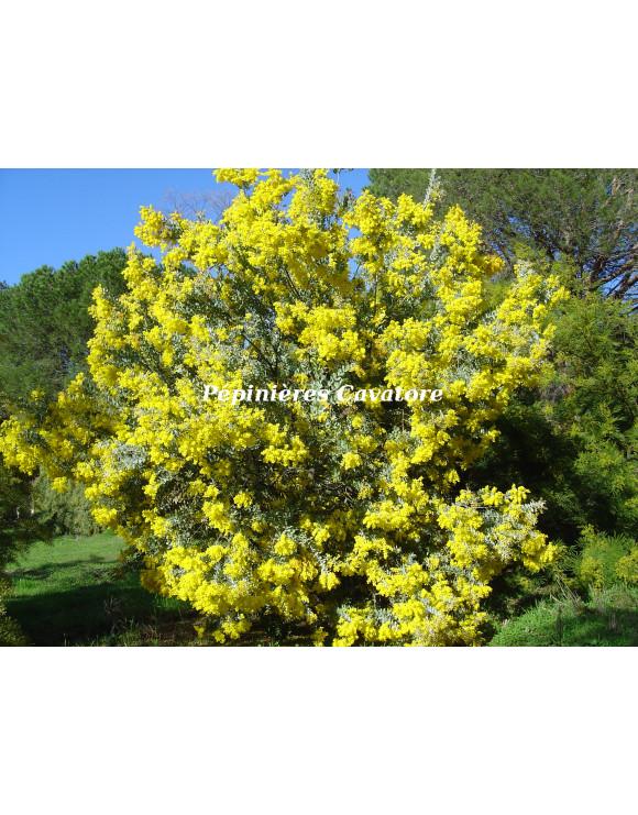 Acacia podalyriifolia syn....