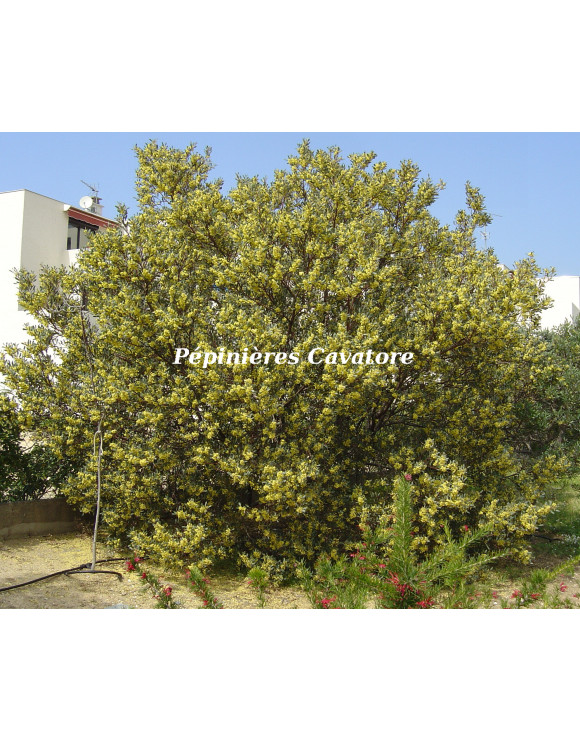 Acacia retinodes 'Glauca'