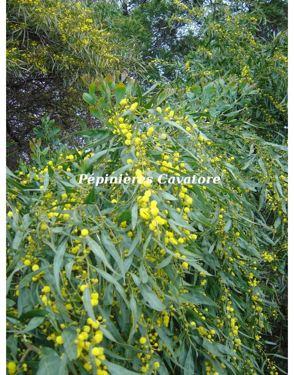 Acacia saligna syn. cyanophylla