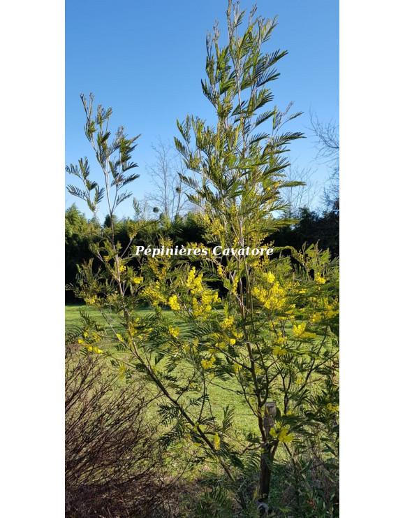 Acacia silvestris
