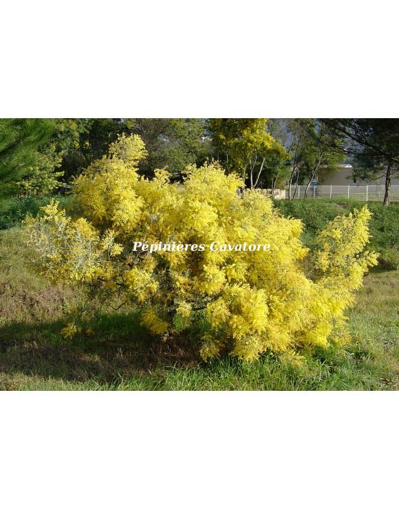 Acacia hanburyana