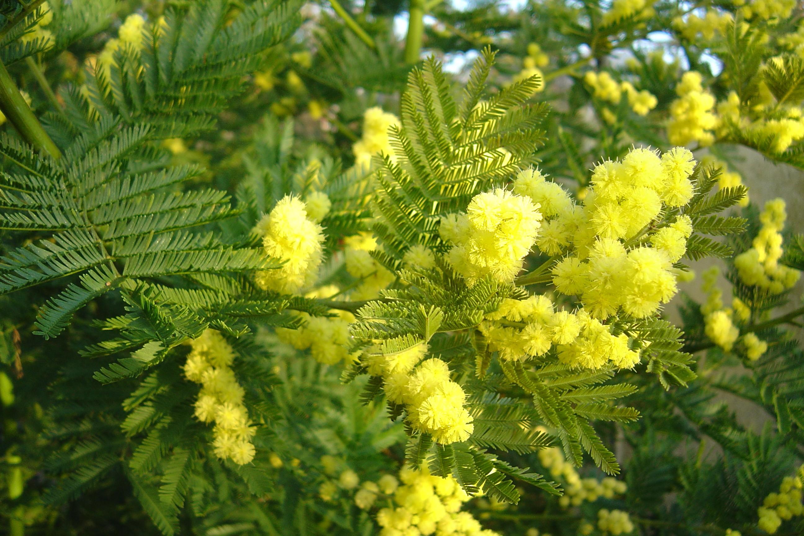 Acacia dealbata 'Gaulois Astier'