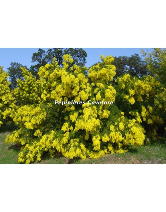 Acacia decurrens 'Rustica'
