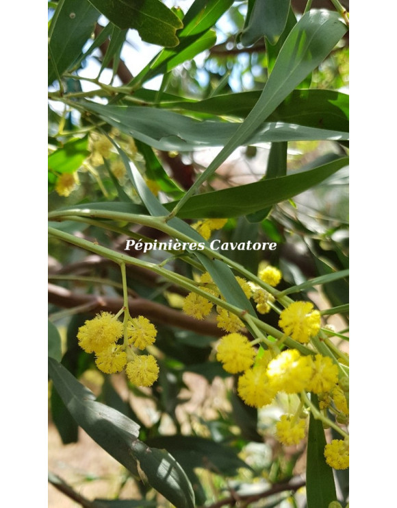 Acacia retinodes 'Super...