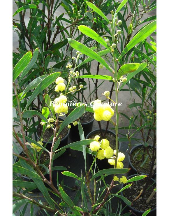 Acacia retinodes 'Impérial'