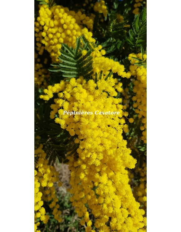 Acacia dealbata 'Granet'