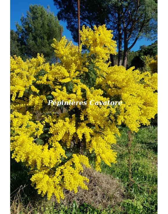 Acacia decurrens 'Latifolia'