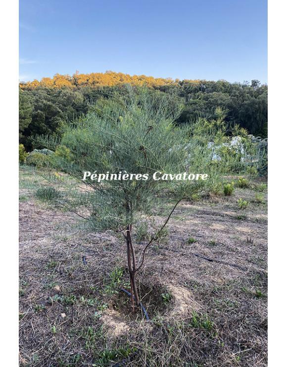 Acacia cupularis