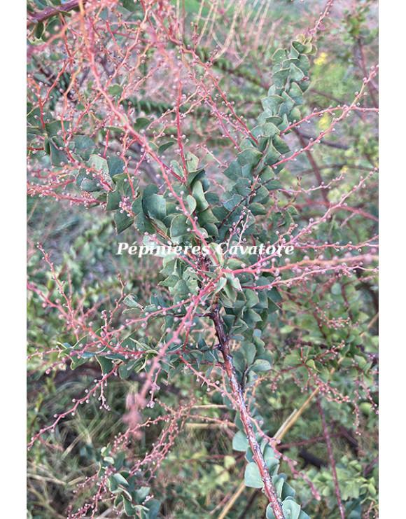 Acacia pravissima 'Red Tips'