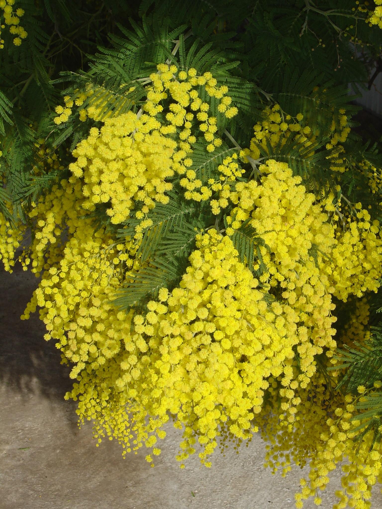 Acacia dealbata 'Mirandole'