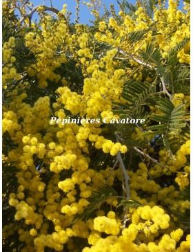 Acacia dealbata 'Pendula' 1/2 tige