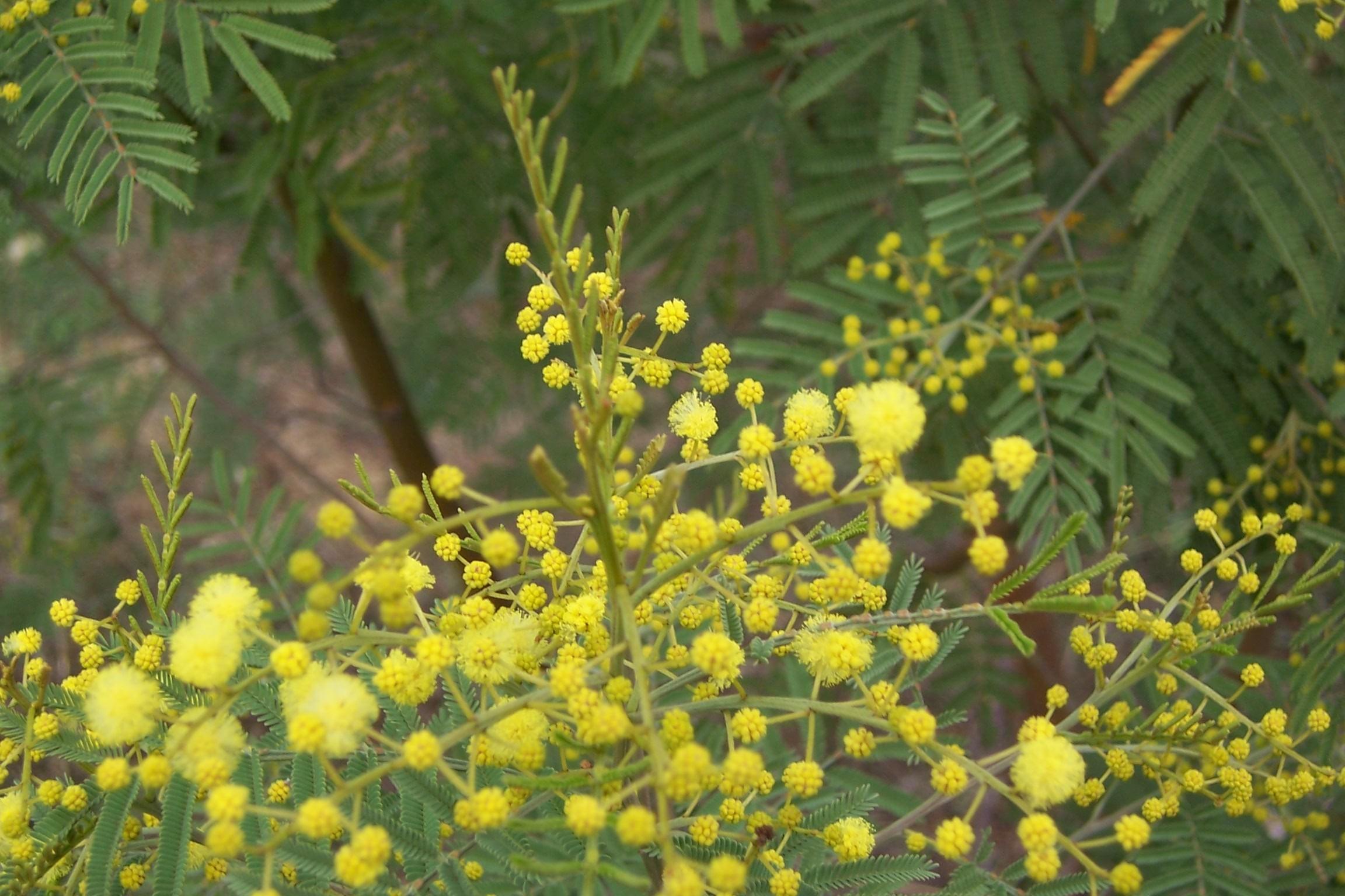 Acacia deanei